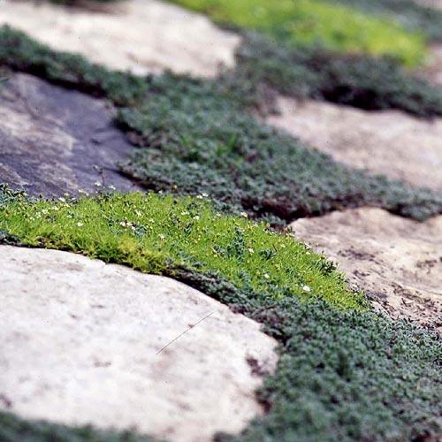 растения для садовой дорожки